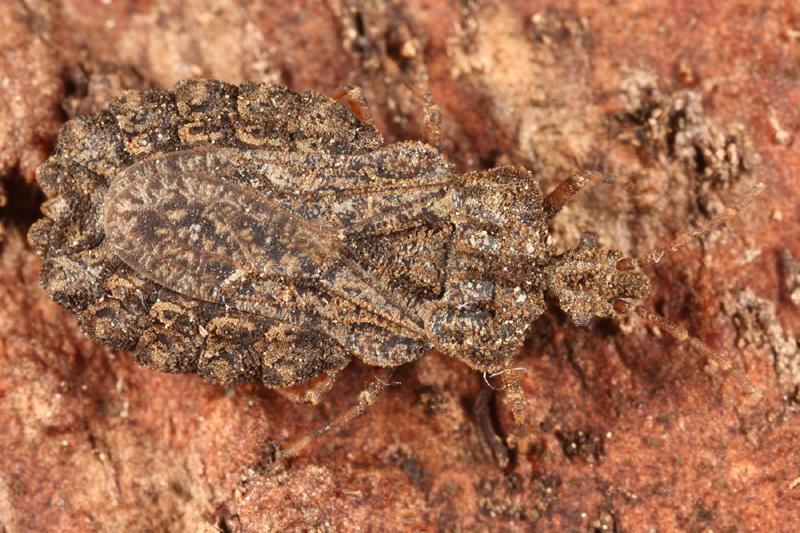 Aradus crenatus