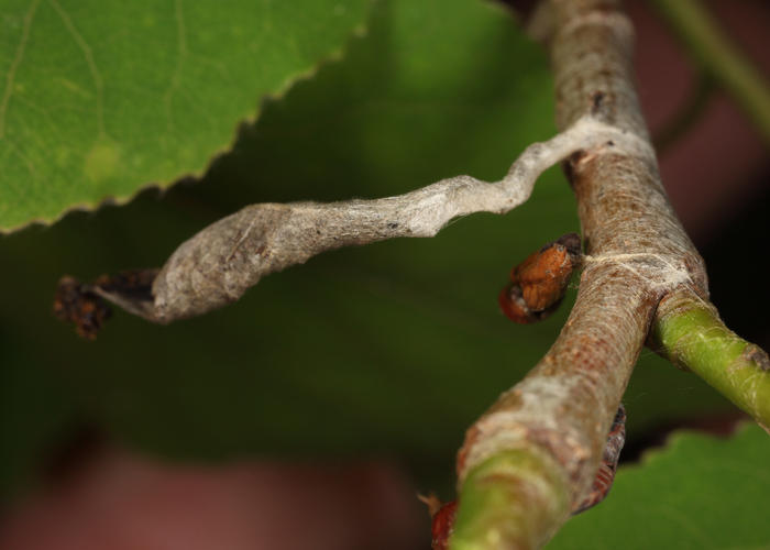 Limenitis hibernaculum
