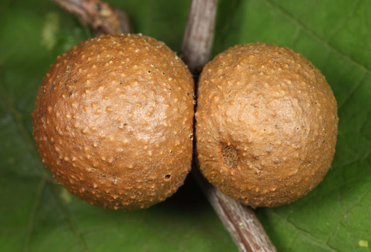 Galls parasitized by Eulophidae wasps