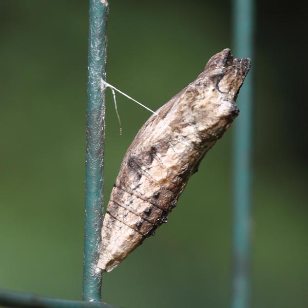 Black Swallowtail - Papilio polyxenes (chrysalis)