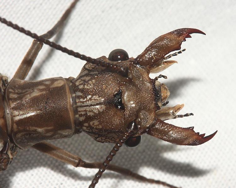 Eastern Dobsonfly - Corydalus cornutus (female)