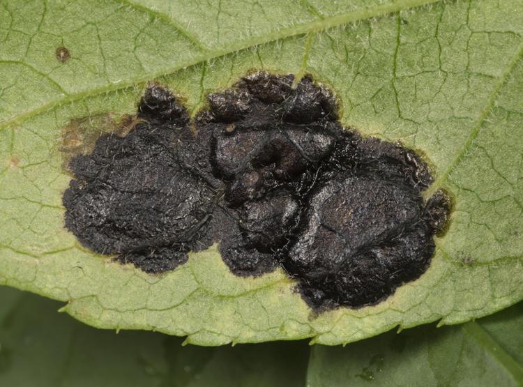 Rhytisma ilicicola (tar spot fungus)