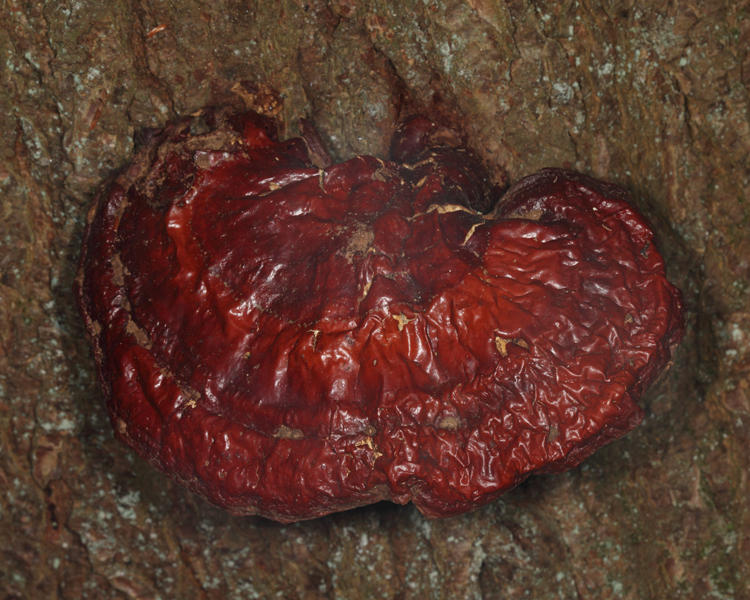 Ganoderma lucidum (Hemlock Varnish Shelf)