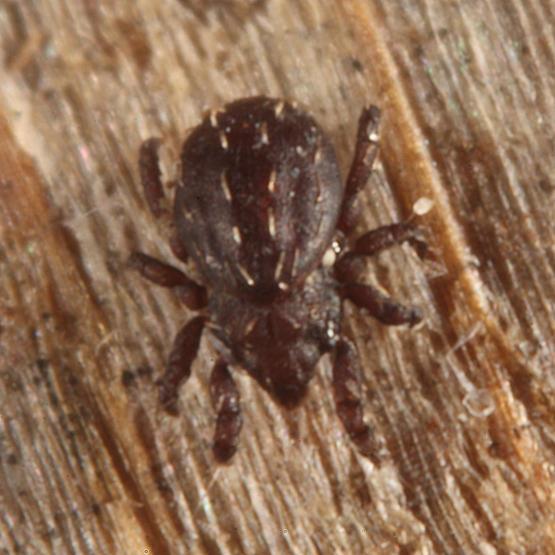 Hermannia sp.