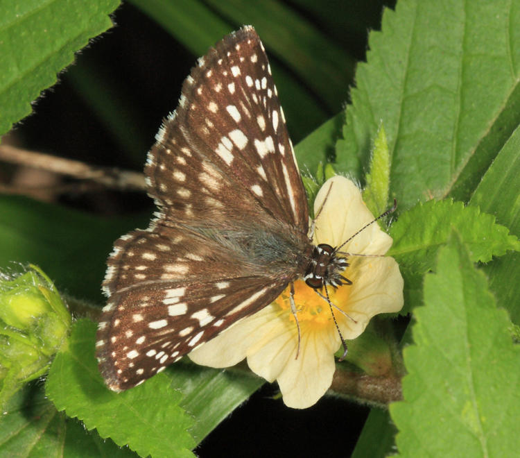 Orcus Checkered-Skipper - Pyrgus orcus
