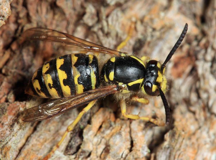 Common Aerial Yellowjacket - Dolichovespula arenaria