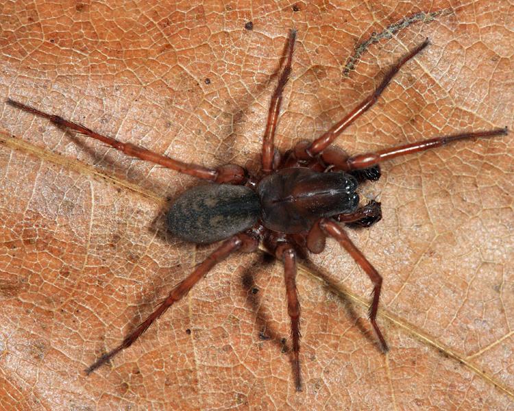 Wadotes hybridus (male)