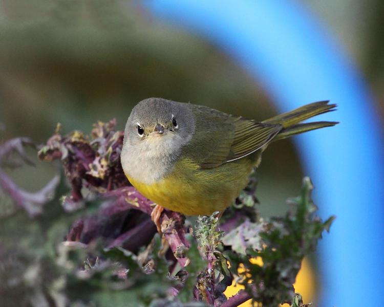 MacGillivrays Warbler - Geothlypis tolmiei