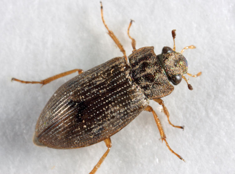 Helophorus  sp.