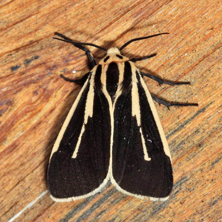 8170 - Banded Tiger Moth - Apantesis vittata