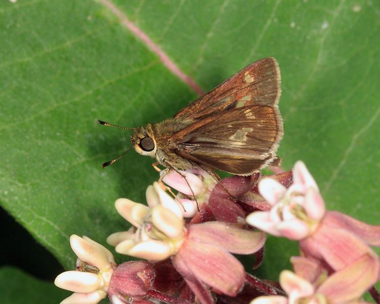 Little Glassywing - Pompeius verna