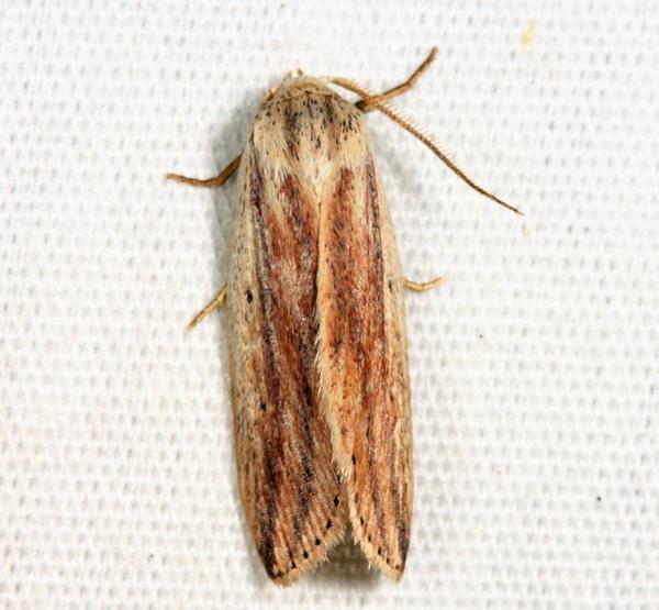 9818 - Feeble Grass Moth - Amolita fessa