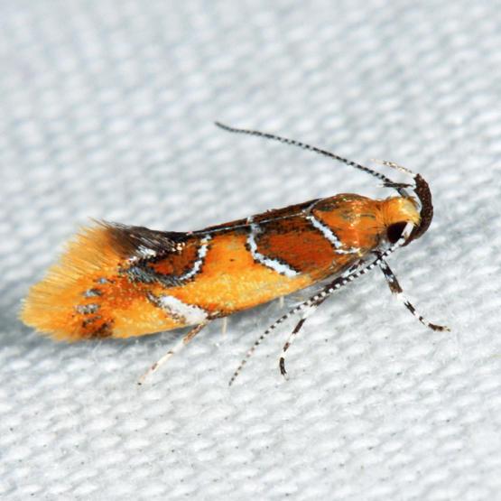 1046 - Orange-headed Epicallima Moth - Epicallima argenticinctella