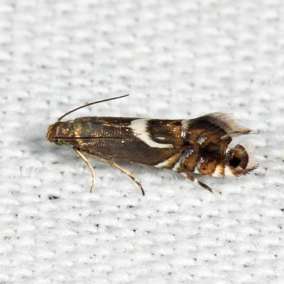 2346 – Yellow Nutsedge Moth – Diploschizia impigritella
