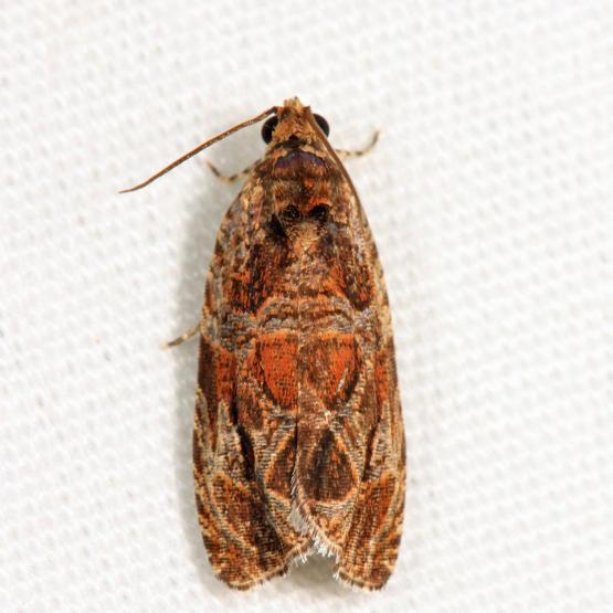 2795 - Basswood Olethreutes - Olethreutes tilianum