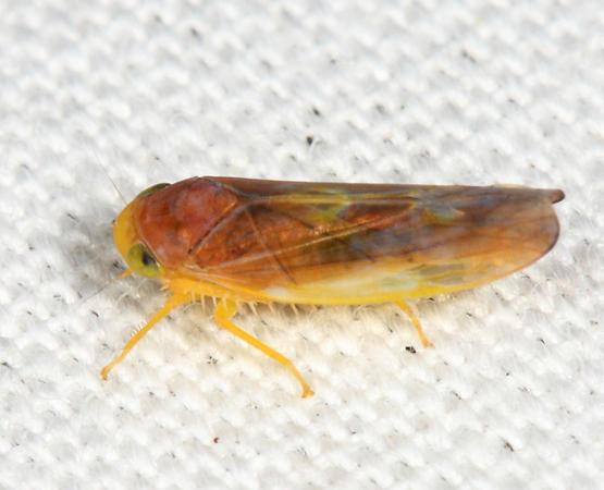 Colladonus setaceus