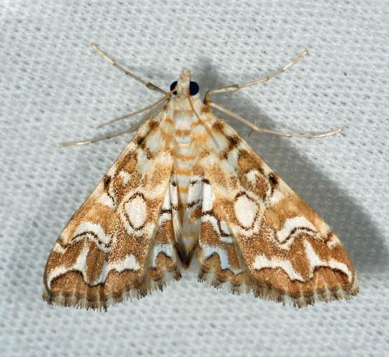 4748 – Pondside Pyralid Moth – Elophila icciusalis