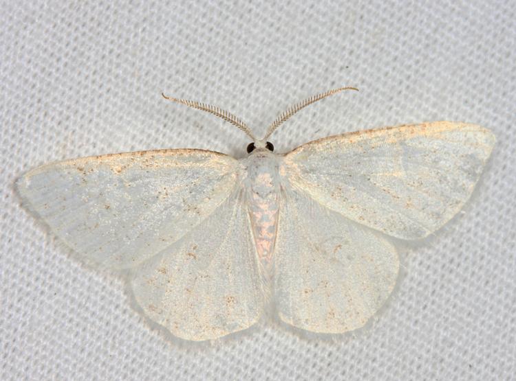 6270 - Virgin Moth - Protitame virginalis