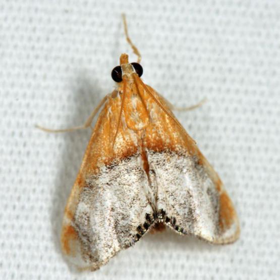 4895 - Sooty-winged Chalcoela - Chalcoela iphitalis