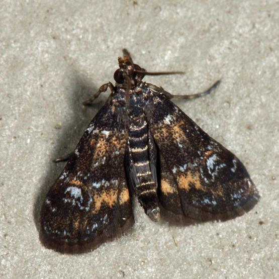 4755 – Waterlily Leafcutter Moth – Elophila obliteralis