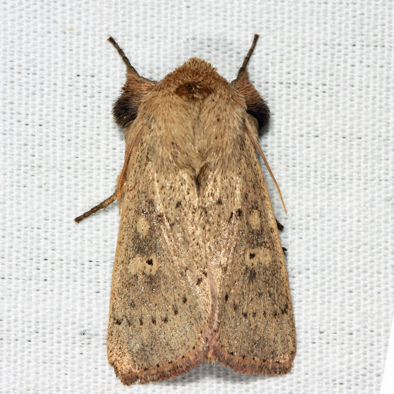 10462 - False Wainscot - Leucania pseudargyria