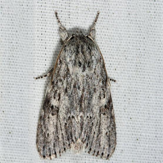 9272 – Smeared Dagger Moth – Acronicta oblinita