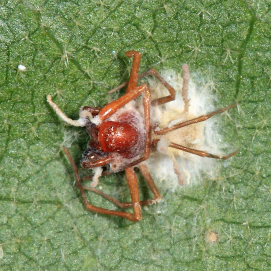 spider infected by fungus