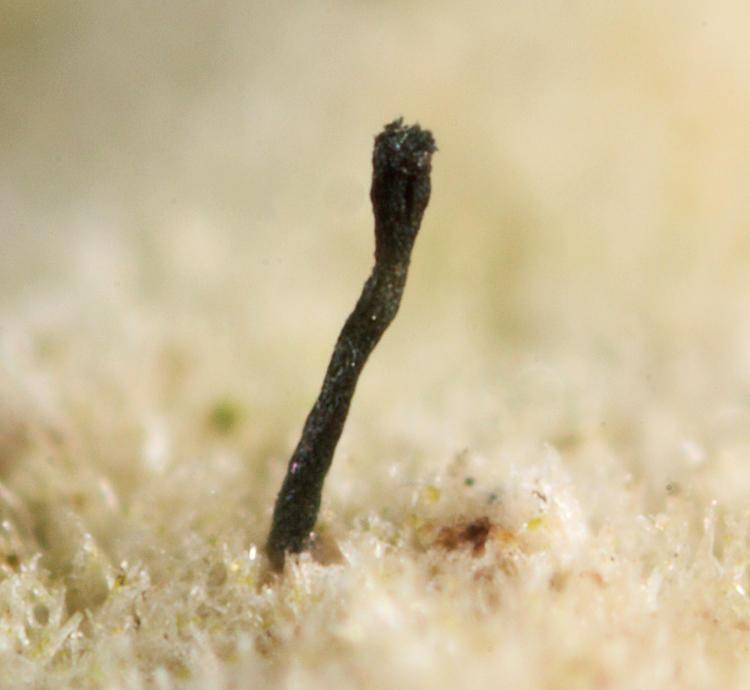 The Fairy Pin - Phaeocalicium polyporaeum