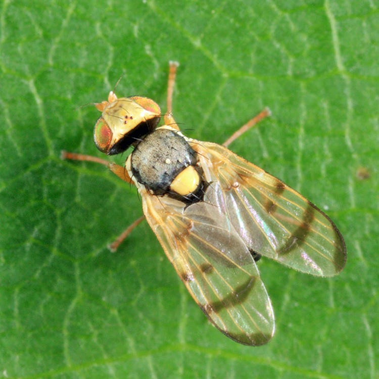 Knapweed Gall Fly - Urophora affinis