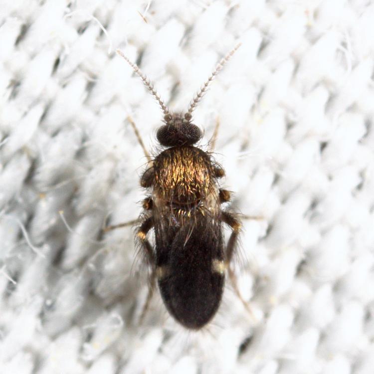 Forcipomyia sp.