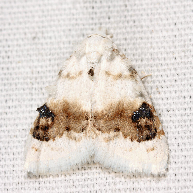 8990 - Blurry-patched Nola - Nola cilicoides
