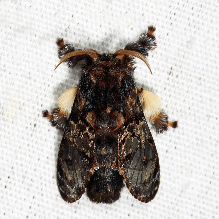 4677 - Hag Moth - Phobetron pithecium