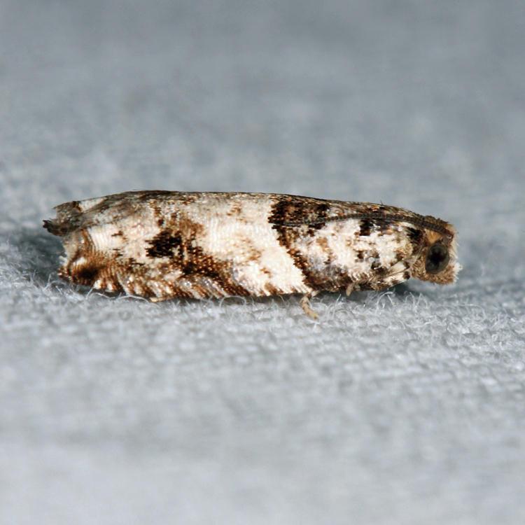 3277 – Rhopobota dietziana