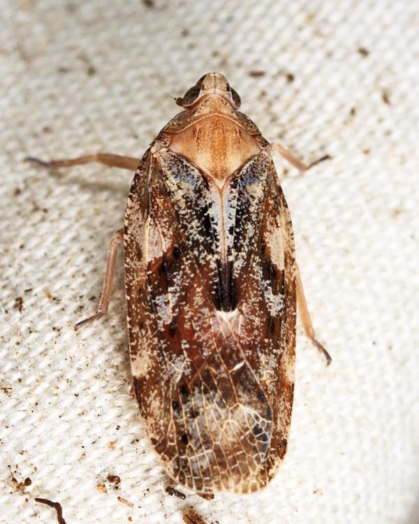 Epiptera variegata