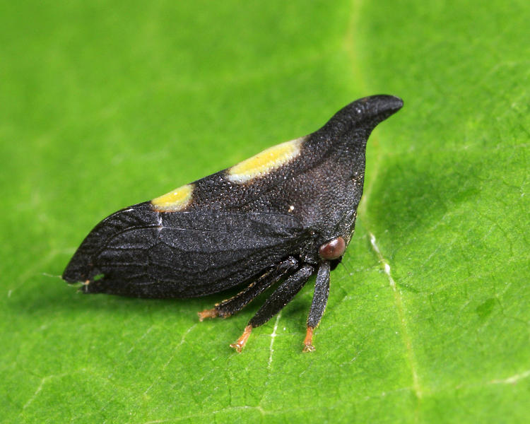Enchenopa on-juglans