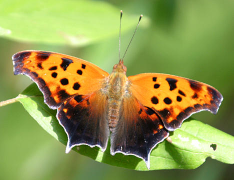 Question Mark - Polygonia interrogationis