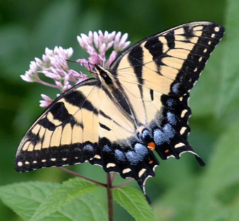 Eastern Tiger Swallowtail (female) - Papilio glaucus