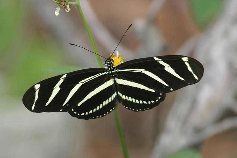Zebra Heliconian - Heliconius charitonius
