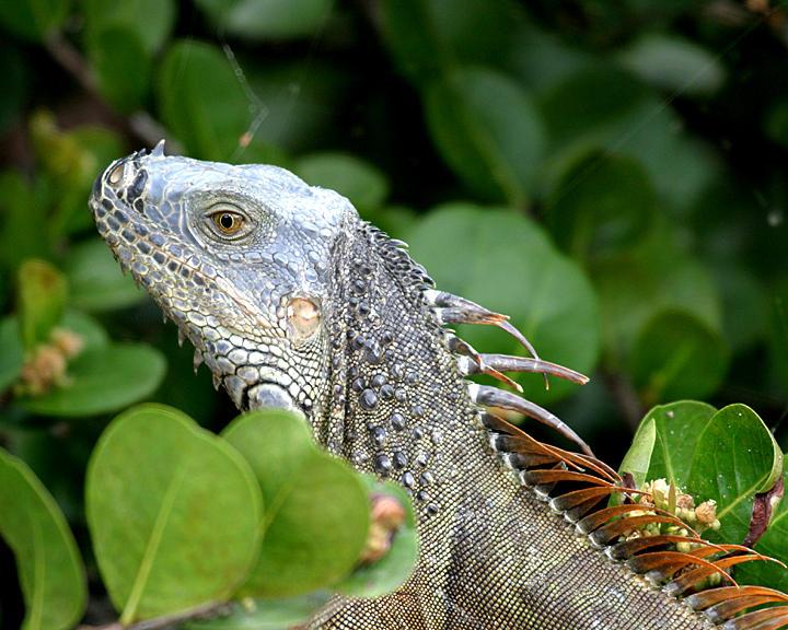 Common Iguana (green iguana) - Iguana iguana