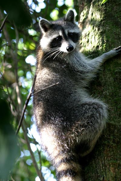 Common Raccoon - Procyon lotor