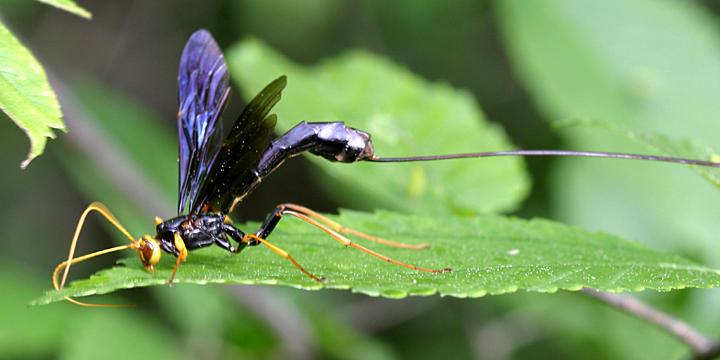 Giant Ichneumon - Megarhyssa atrata