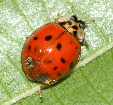 Laboulbeniales fungus on a Multicolored Asian Lady Beetle - Harmonia axyridis