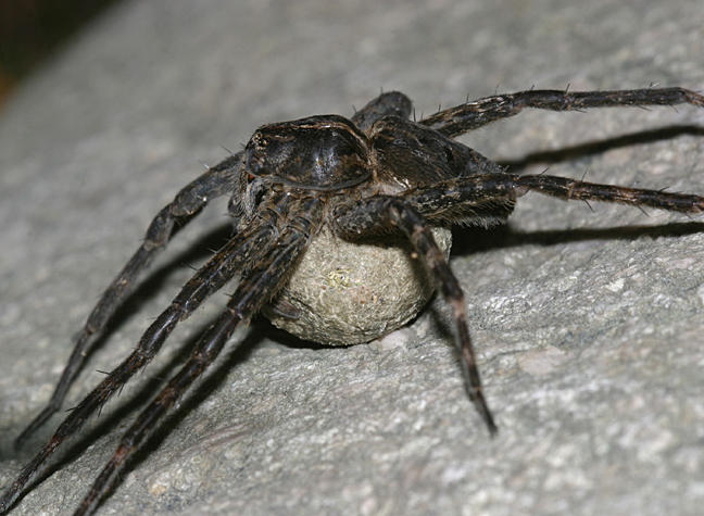 Brownish-gray Fishing Spider -  Dolomedes tenebrosus (female guarding her eggs)