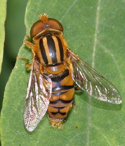 Parhelophilus sp. (male)