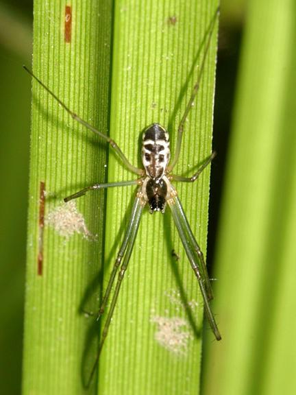 Neriene radiata (female)