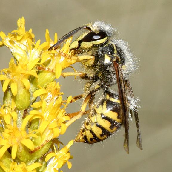Dolichovespula arenaria (female Aerial Yellowjacket)