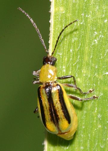 Western Corn Rootworm Beetle - Diabrotica virgifera