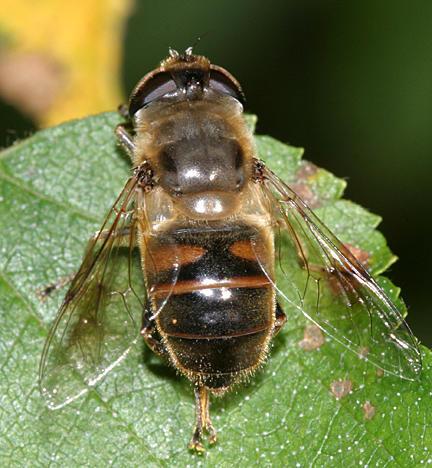 Eristalis tenax (male)