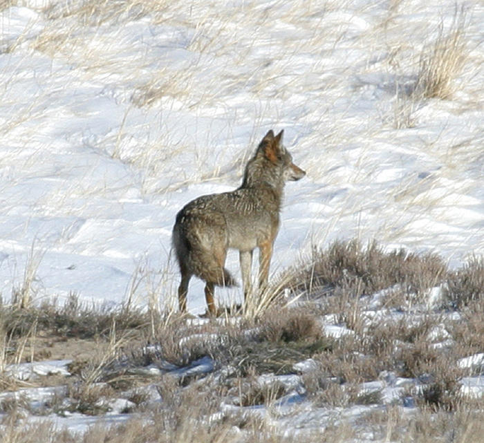 Eastern Coyote - Canis latrans