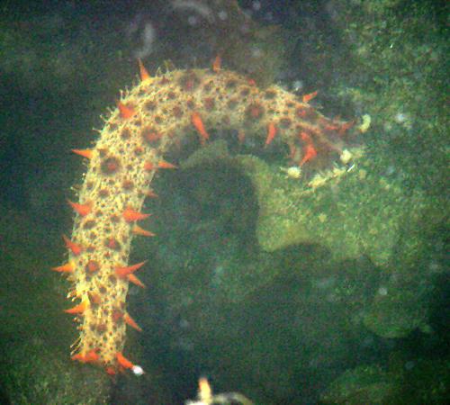 California Sea Cucumber - Parastichopus californicus